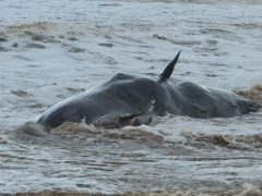 Handout photo issued by British Divers Marine Life Rescue (BDLMR) showing one of a group of whales which have been beached on a stretch of coastline between the villages of Tunstall and Withernsea in East Yorkshire (BDLMR/PA)
