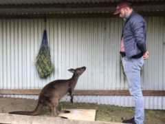 Kangaroos communicate with humans in similar way to domesticated animals – study (Alexandra Green/University of Sydney/PA)