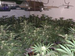 A phone slip-up led police to find a cannabis farm in Easington Lane, near Sunderland (Northumbria Police/PA)
