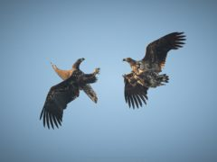 Two white-tailed eagles released in 2019 and 2020 (Ainsley Bennett/PA)