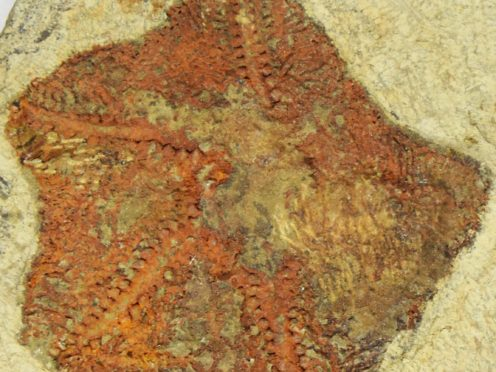 A fossil of the earliest starfish-like animal, called Cantabrigiaster fezouataensis, was discovered in Morocco (Yale University/PA)