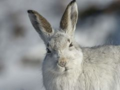 Mountain hares should not be killed or injured without a licence from March (Andrew Marshall/RSPB/PA)