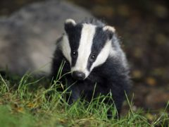 Badger culling licences will not be issued for new areas after 2022, the Government proposes (Ben Birchall/PA)