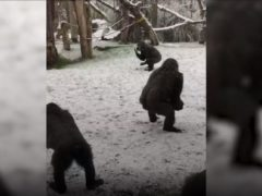 Gorillas enjoying the snow at London Zoo (ZSL/PA)