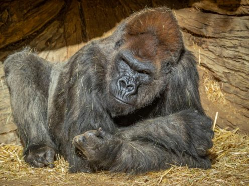 A member of the gorilla troop at the San Diego Zoo Safari Park (Ken Bohn/San Diego Zoo Safari Park via AP)