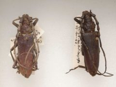 4,000-year-old Oak Capricorn beetles at the Natural History Museum (Trustees of the Natural History Museum/PA)