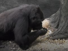 Western lowland gorillas at Brookfield Zoo in Chicago were showered with popcorn (Chicago Zoological Society)