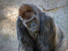Winston, a silverback gorilla, in his enclosure at the San Diego Zoo Safari Park in Escondido, California (Ken Bohn/San Diego Zoo Global via AP)