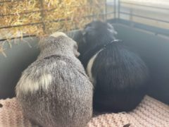 Ami and Yuki are looking for a new home together (RSPCA Danaher Animal Home)
