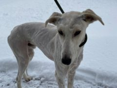 The dog was discovered dumped in a hedge (Scottish SPCA/PA)