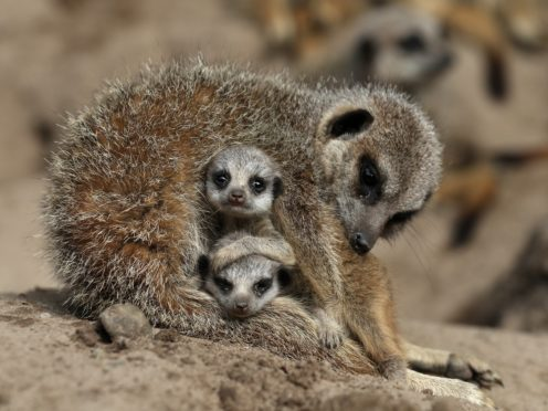 Meerkats react positively to return of zoo visitors after lockdown – study (Andrew Milligan/PA)