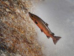 A salmon make its way upstream on the River Tyne in Hexham, Northumberland (Owen Humphreys/PA)
