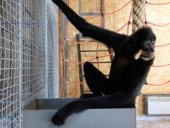 A gibbon in the enclosure at the zoo in Sarajevo (Eldar Emric/AP)