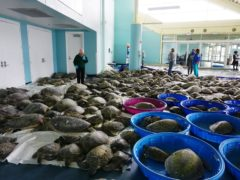 Thousands of Atlantic green sea turtles and Kemp's ridley sea turtles suffering from cold stun are laid out to recover at the South Padre Island Convention Centre on South Padre Island, Texas (Miguel Roberts/The Brownsville Herald via AP)