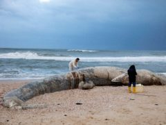 Marine vets take samples from a fin whale washed up on a beach in Nitzanim Reserve, Israel (Ariel Schalit/AP)