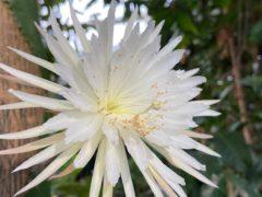 The rare Amazonian cactus called the Moonflower at Cambridge University's Botanic Garden (Cambridge University Botanic Garden/PA)