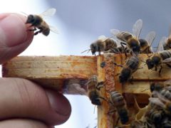 Scientists tested how honeybees reacted to different placards showing various numbers of shapes (Lewis Whyld/PA)
