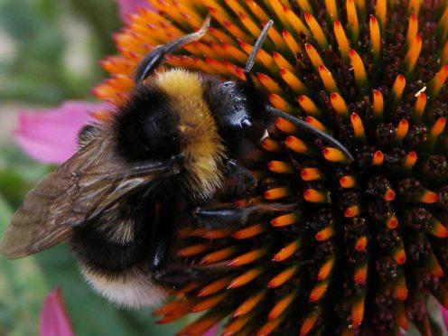 A bumblebee (Nick Ansell/PA)