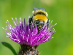 The Great Yellow bumblebee was spotted near John O'Groats (Bumblebee Conservation Trust/PA)