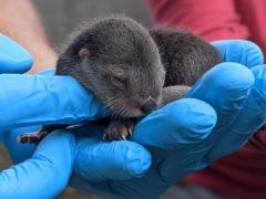 A North American river otter pup born at Zoo Miami (Sean Juman/Zoo Miami via AP)