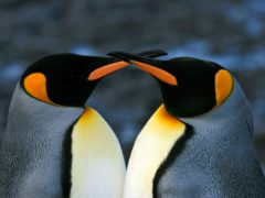 Close up of two adult King penguins (Aptenodytes patagonicus) with beaks crossing, South Georgia. (Natalie Bowes / WWF-Canada)