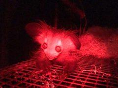 The aye-aye lemur was born almost two months ago at Bristol Zoo (Paige Bwye/Bristol Zoo Gardens/PA)