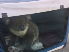 The koala was rescued after causing a five-car pileup (Nadia Tugwell/AP)