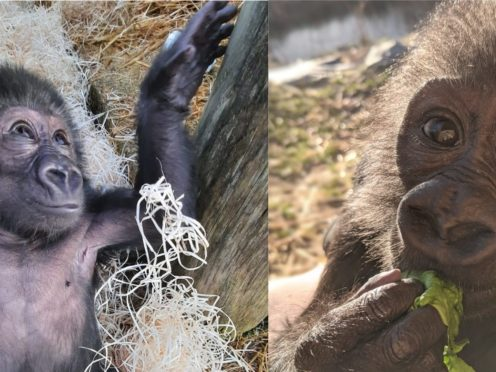 Hasani was born last August but his mother found caring for him challenging (Bristol Zoo)