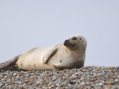 A common seal, like this one shown at Blakeney Point on the Norfolk coast, has been put down after being attacked by a dog by the Thames (Joe Giddens/PA)