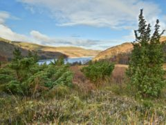 Scrub growing at the RSPB rewilding site at Haweswater (David Morris/RSPB Haweswater/PA)