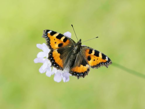 The small tortoiseshell butterfly had a better year in 2020 (Iain H Leach/PA)