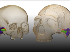 A virtual reconstruction of two skulls (Mercedes Conde-Valverde/PA)