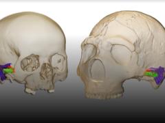 A virtual reconstruction of two skulls (Mercedes Conde-Valverde/PA)