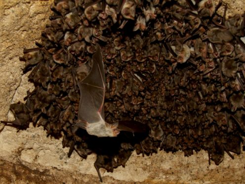 Scientists equipped bats with a tiny computer to hear how they go about seeking prey (Stefan Greif/Tel Aviv University/PA)