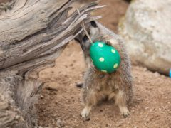 A meerkat enjoys an Easter treat (ZSL London Zoo/PA)