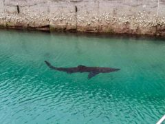 The basking shark was spotted in Torquay Marina by paddle-boarders (Torquay Water Sports/PA)