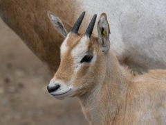 Scimitar-horned oryx calf Freya was born at Marwell Zoo (Jason Brown/Marwell Wildlife/PA)