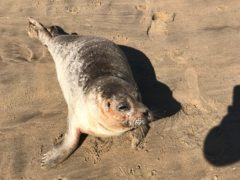 Hubble the sick seal was rescued from Camber Sands in East Sussex by the RSPCA (RSPCA/PA)