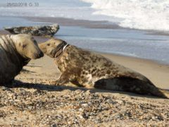A seal known as Mrs Vicar, due to the white plastic round her neck, was first seen off the coast of Norfolk in 2018 (Glenn Mingham/ PA)