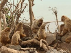 A group of macaques sitting together and grooming at Cayo Santiago in Peurto Rico (Lauren Brent/Exeter University)
