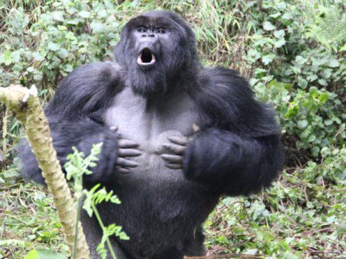 A male gorilla chest beating (Dian Fossey Gorilla Fund)