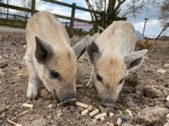 Two of the new Mangalitsa piglets (ZSL Whipsnade Zoo)