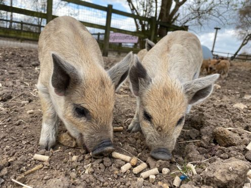 Two of the new Mangalitsa piglets (ZSL Whipsnade Zoo)