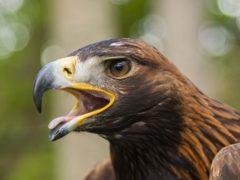 A golden eagle was found dead on a rural estate in Aberdeenshire (Phil Wilkinson/PA)