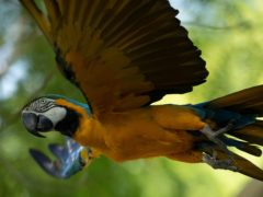 A blue-and-yellow macaw that zookeepers named Juliet flies outside the enclosure where macaws are kept at BioParque, in Rio de Janeiro, Brazil (Bruna Prado/AP)