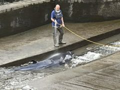 Picture taken with the permission from the twitter feed of Jake Manketo of a small whale, believed to be a Minke whale, being hosed down after it stranded at Richmond Lock and Weir on Sunday (Jake Manketo/PA)