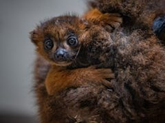 Undated Chester Zoo handout photo of one of their red-bellied lemurs with their new arrival, the first of the species to be born at the zoo. Issue date: Thursday May 20, 2021.