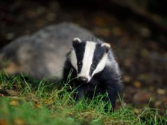 The Government confirmed plans to halt new badger cull licences after 2022 (Ben Birchall/PA)