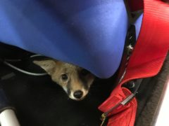 The young fox (RSPCA)
