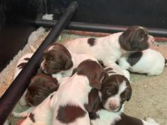 Three new Spaniel puppies will be joining the Met Police as cash seizure dogs. (Metropolitan Police/PA)